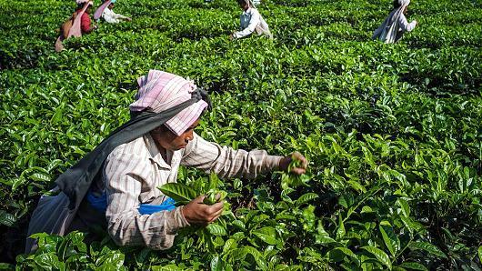 人工采摘茶叶